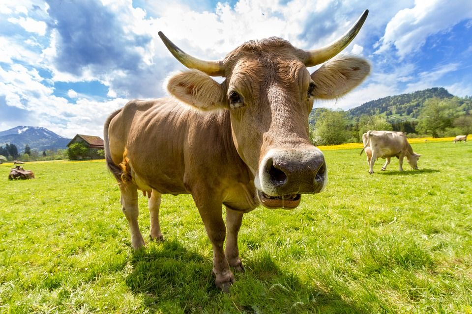 matar a la vaca
